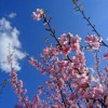 横浜の河津桜が咲きました:カワヅザクラの起源はいつ?