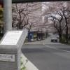 スペイン坂の桜の花見(アークヒルズ)