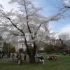 花見で檜町公園を散策(六本木・ミッドタウン)