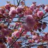 桜台の八重桜(横浜市青葉区2016年4月)