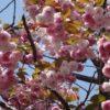 地元の八重桜(青葉区荏田)