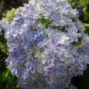 初夏の紫陽花の花(横浜市青葉区)