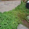 庭にドクダミが大量発生!(横浜の自宅にて)☆ドクダミ茶の効用について