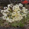 白い彼岸花は素敵な花言葉~一途で情熱的!