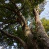 トトロの木は神奈川県秦野市にある!