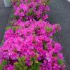 ツツジが咲き誇る横浜市青葉区の道端
