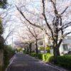 これは素晴らしい!新石川の桜花見スポット~國學院大學に通じる桜並木