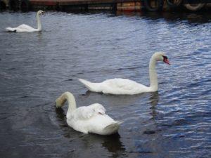 山中湖 白鳥