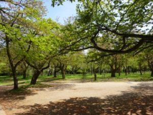 高岡古城公園 桜