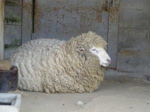 高岡古城公園 羊